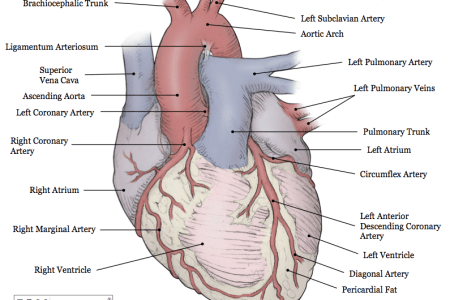 Interior Inferior Portion Of The Heart Electronic Wallpaper