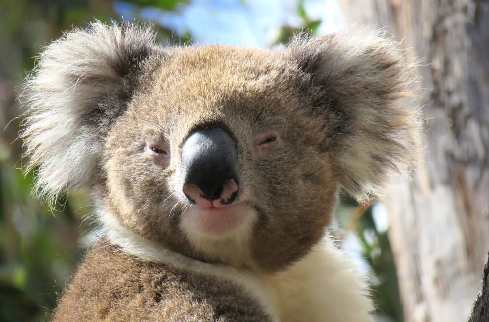 Wild Koala Day: our favourite images of the year | Echidna ...