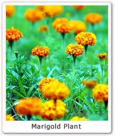 Marigold  Scientific name of Marigold  Marigold Religious Flower of     Marigold  Scientific name of Marigold  Marigold Religious Flower of India    Eco India