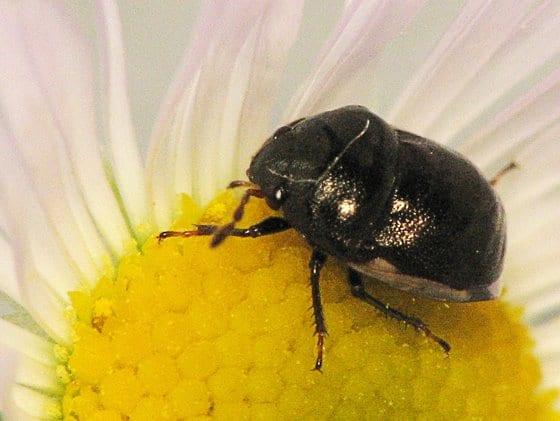 Black Small Bugs Round Hemiptera