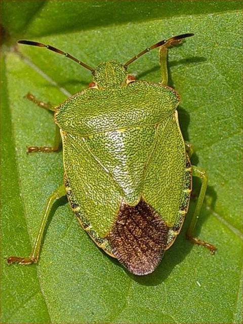 Shield Bug Empire Pest Control London