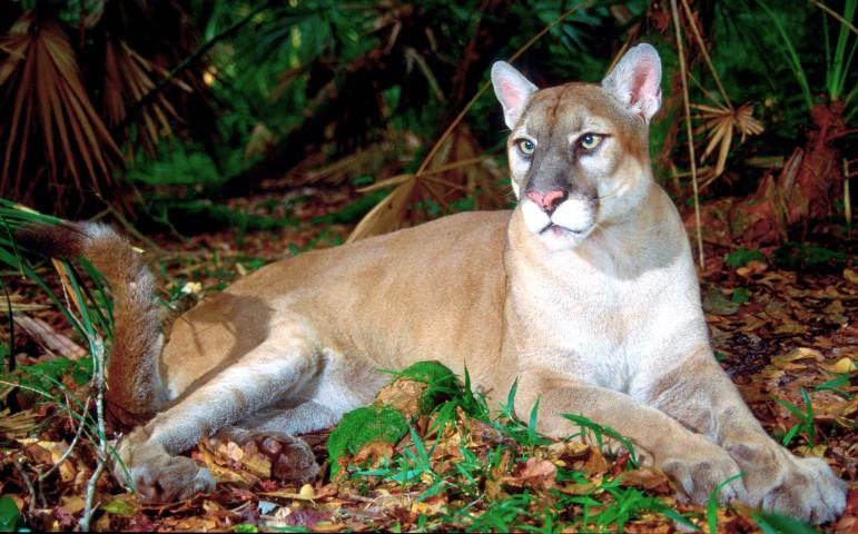 Florida Panther Endangered Species Coalition