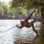 orangutan-tool-use-fishing-150x150
