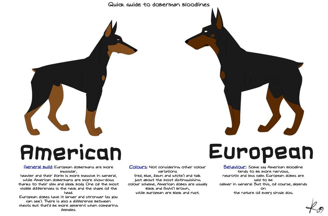 American European Vs Pinscher Doberman