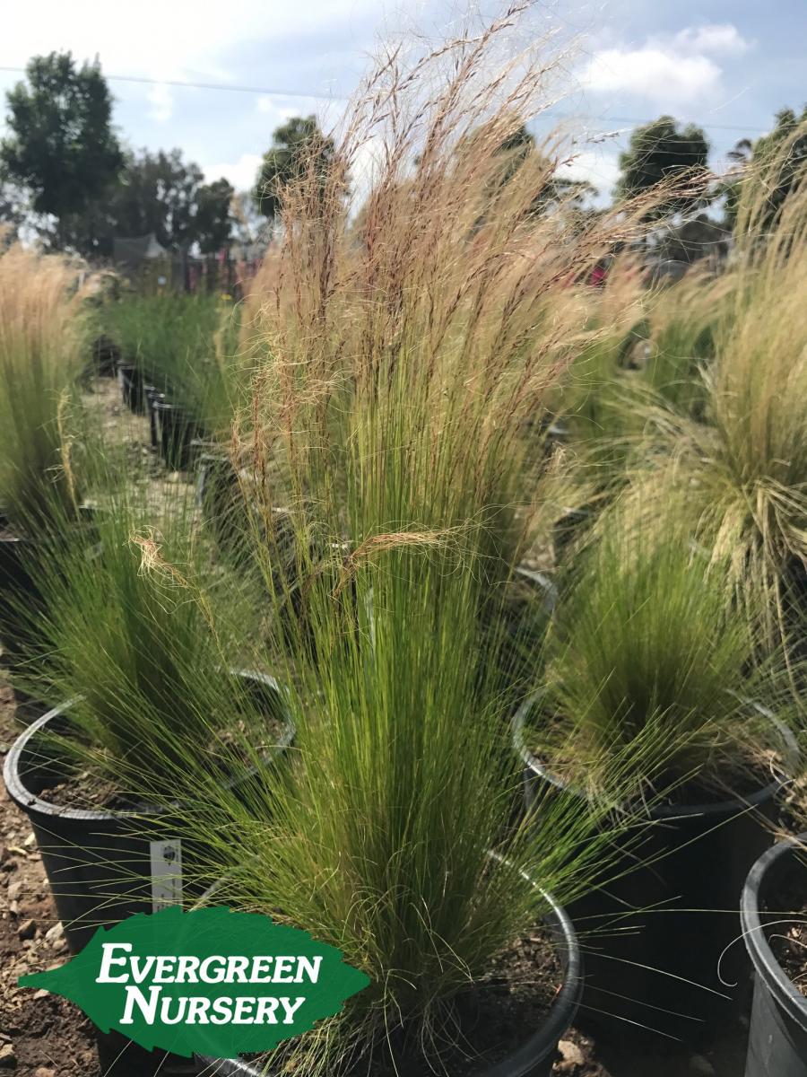 Low Growing Evergreen Shrubs