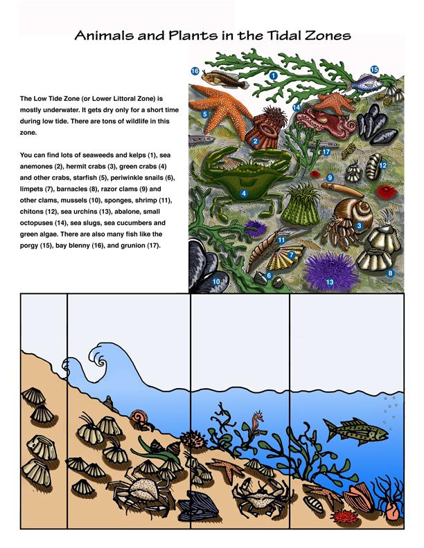 Chart Tide Pool Animals
