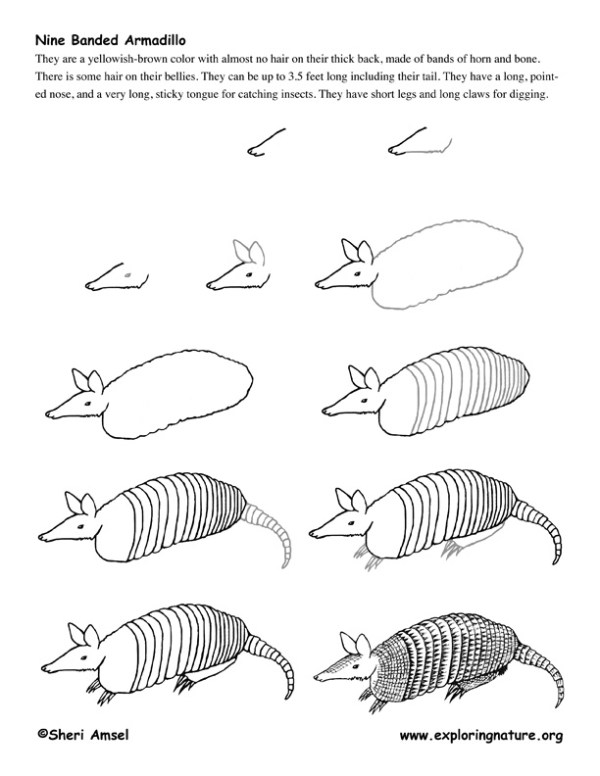 how to draw an armadillo # 16