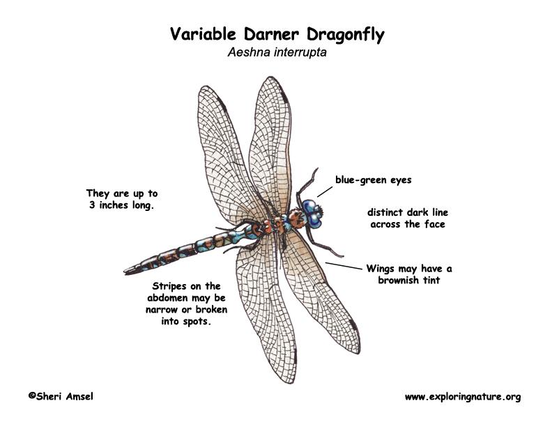 Dragonfly Body Parts Anatomy