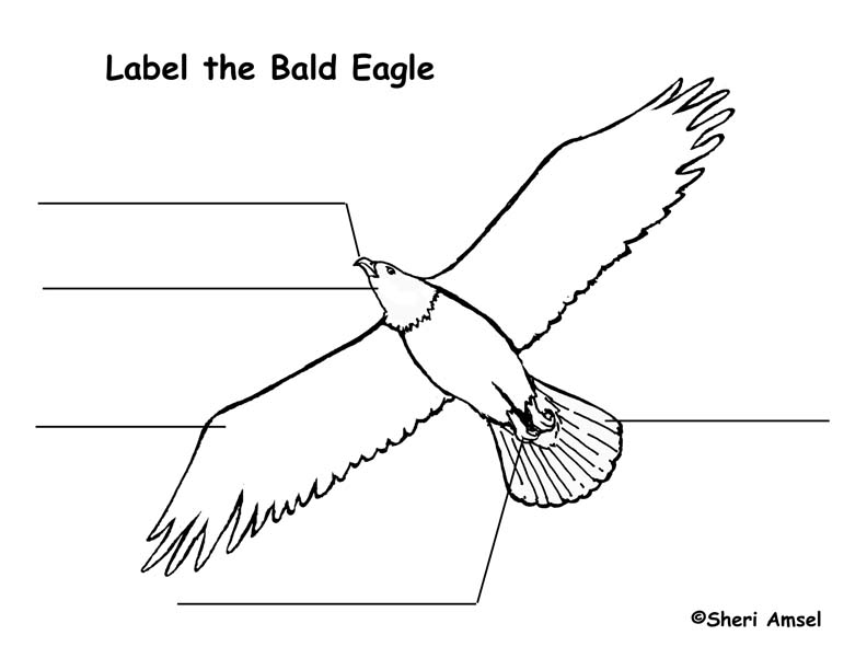 Brilliant Bald Eagle Body Parts Diagram Wiring Digital Resources Remcakbiperorg