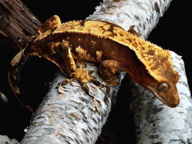 Extreme Cresties Breeder Gallery Page Dark Pinstripe