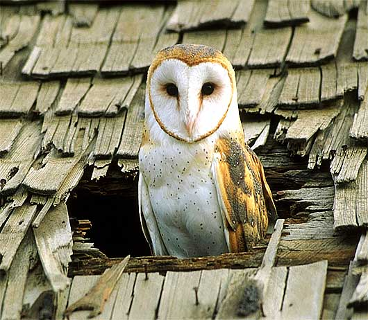 Barn Owl - The White-masked Ghost Owl | Animal Pictures ...