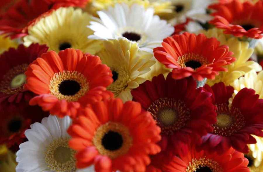 Gerbera Flower Cultivation  Get Maximum Return from Gerbera Plant