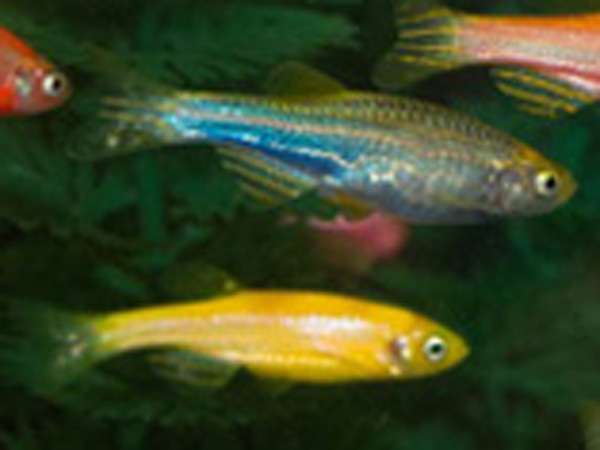List of Synonyms and Antonyms of the Word: male glofish
