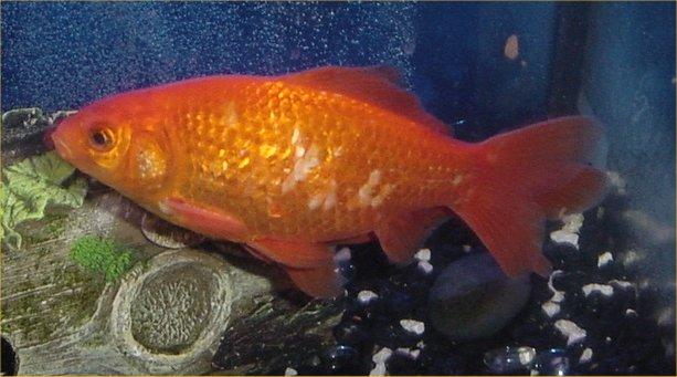 Where Do Goldfish Lay Eggs