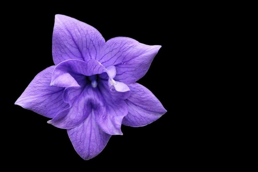 62 Purple Flower Types with Pictures   FlowerGlossary com The lilac colored bloom on the balloon flower is known the balloon shape  that it forms right before blossoming  If you are looking to grow this  flower