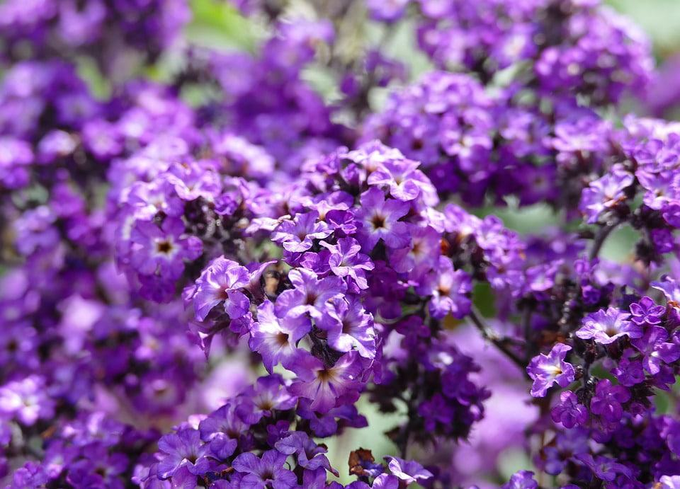 62 Purple Flower Types with Pictures   FlowerGlossary com If you enjoy having heavily scented flowers in your garden  then the  heliotrope is for you  With a very strong scent  these tiny clusters of  flowers are