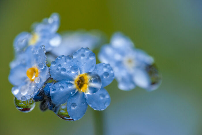 Forget Me Not Flower Meaning   Flower Meaning Forget Me Not Flowers