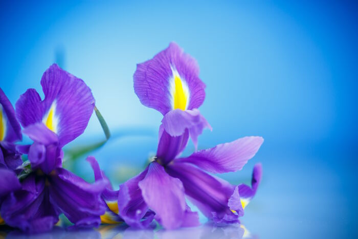 Iris Flower Meaning   Flower Meaning beautiful bouquet of flowers irises on a blue background