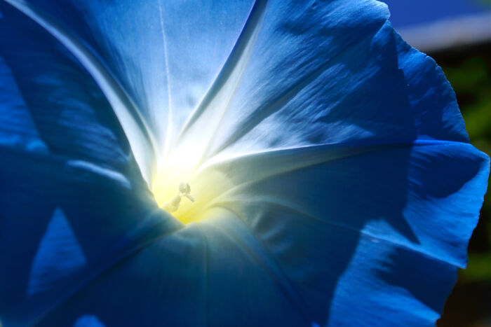 Blue Flowers Meaning   Flower Meaning a macro of a blue morning glory in the sun