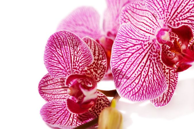 Chinese Flower Meanings   Flower Meaning Orchid 1