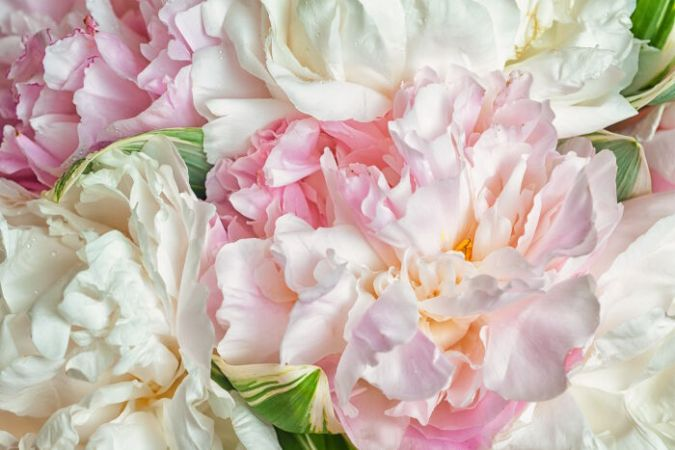 Peony Flower Meaning   Flower Meaning fresh bright blooming peonies flowers with dew drops on petals