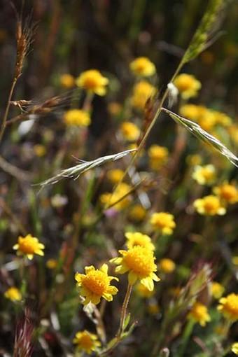 Wildflower Small Yellow Daisies Jpg