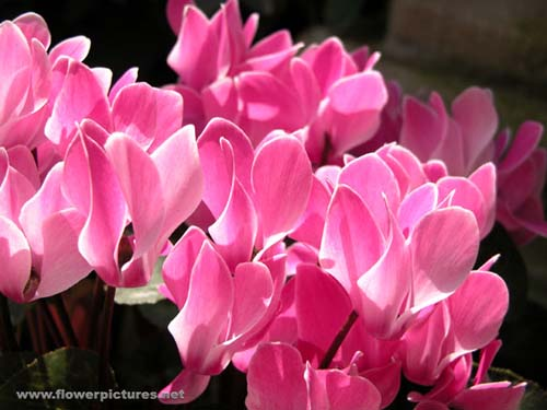 Pictures Of Flowers Cyclamen