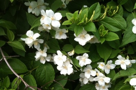 Vine with white flowers identification new artist 2018 new artist vine weeds flowers are trumpet shaped pink to white and are produced indeterminately throughout the year florida s vines page of mangrove rubbervine flower mightylinksfo