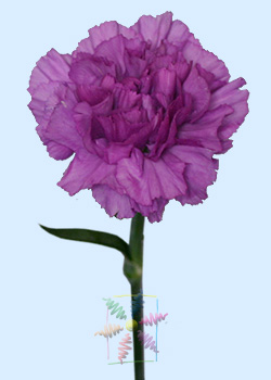 Carnation Flower Information   Carnation Cut Flower   Flower Shop     Purple Carnation