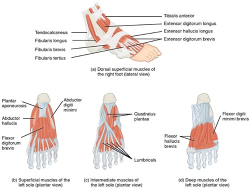 Hand Tendons Problems Muscles And