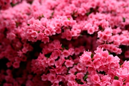 Flowers online 2018 large bush with pink flowers flowers online large bush with pink flowers these flowers are very beautiful here we offer a collection of beautiful cute charming funny and unique flower images and mightylinksfo