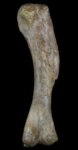 Petrified Dinosaur Billed Duck