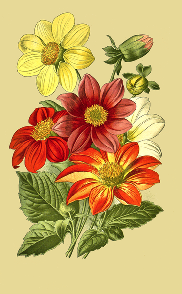 Dahlia Flowers Drawing   Free Vintage Art Dahlia Flowers Drawing