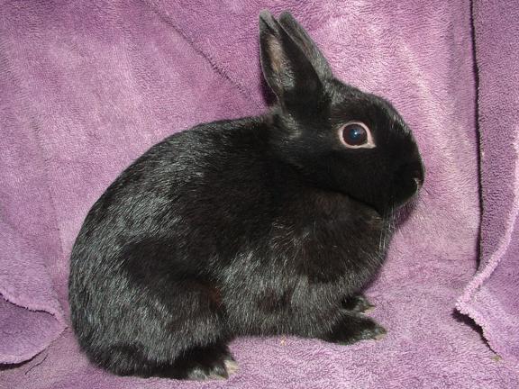 Broken Chocolate Netherland Dwarf Rabbit