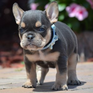 brooklyn bella french bulldog breed