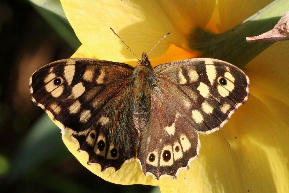 Dots Identify Butterfly Black Yellow