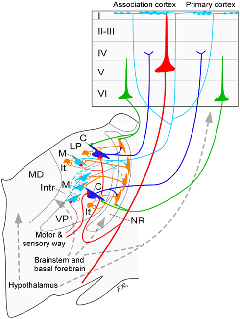 Hypothalamus Neurons Ventral