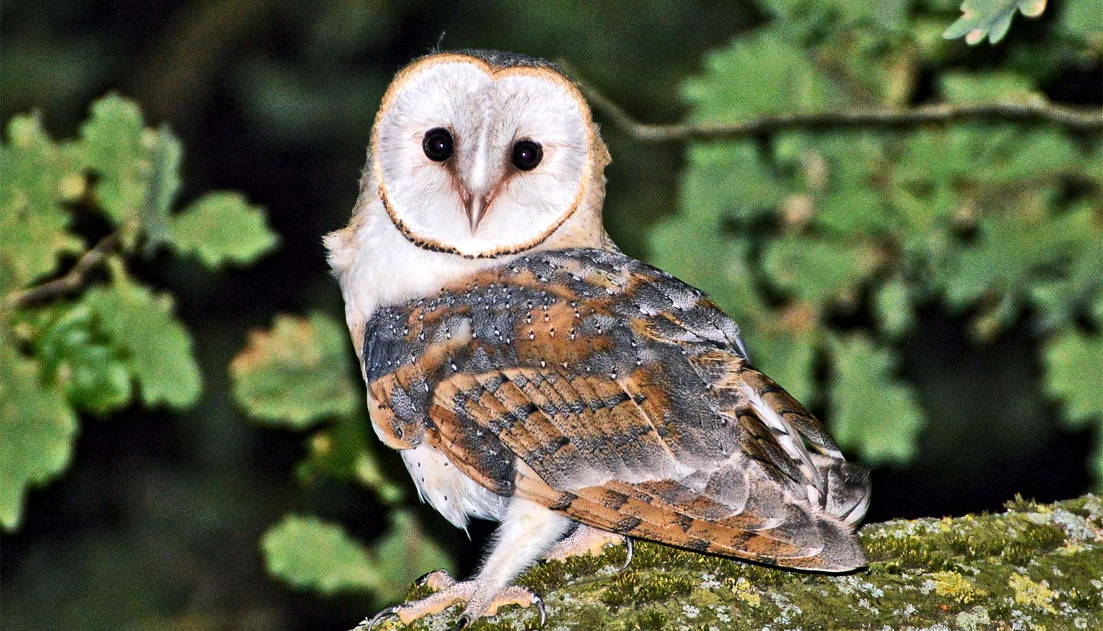 barn owl sounds - HD 1600×915