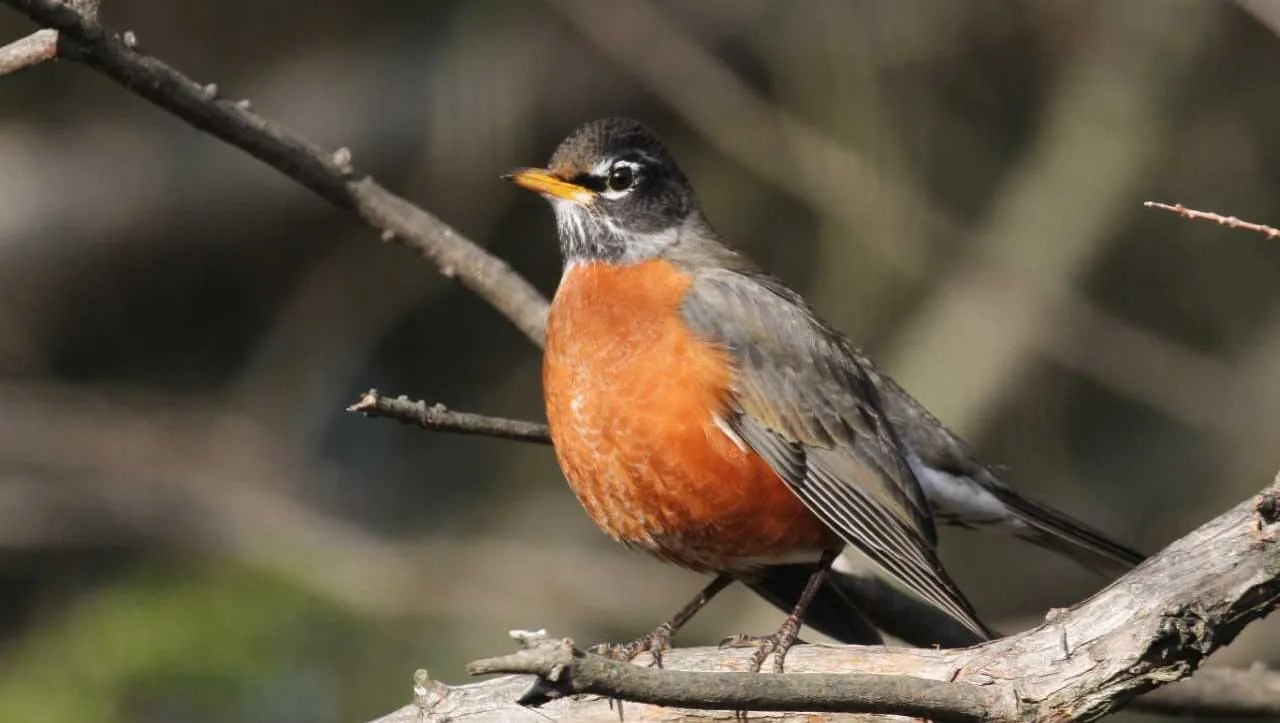 For the Birds: Robin visits aren't exactly an omen