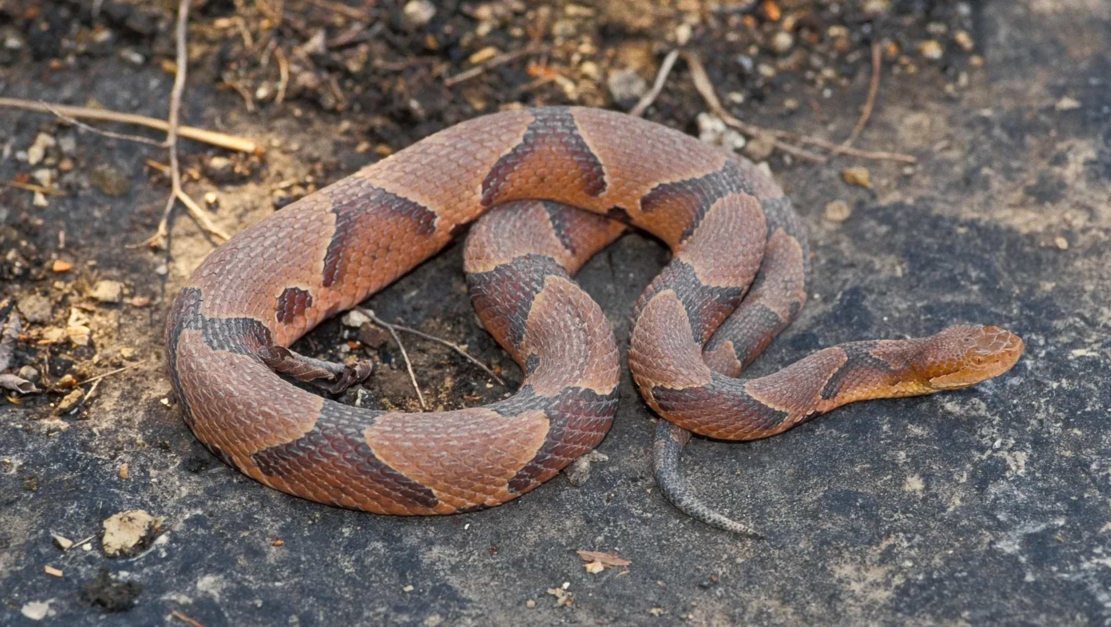 northern copperhead pictures - HD 3200×1680
