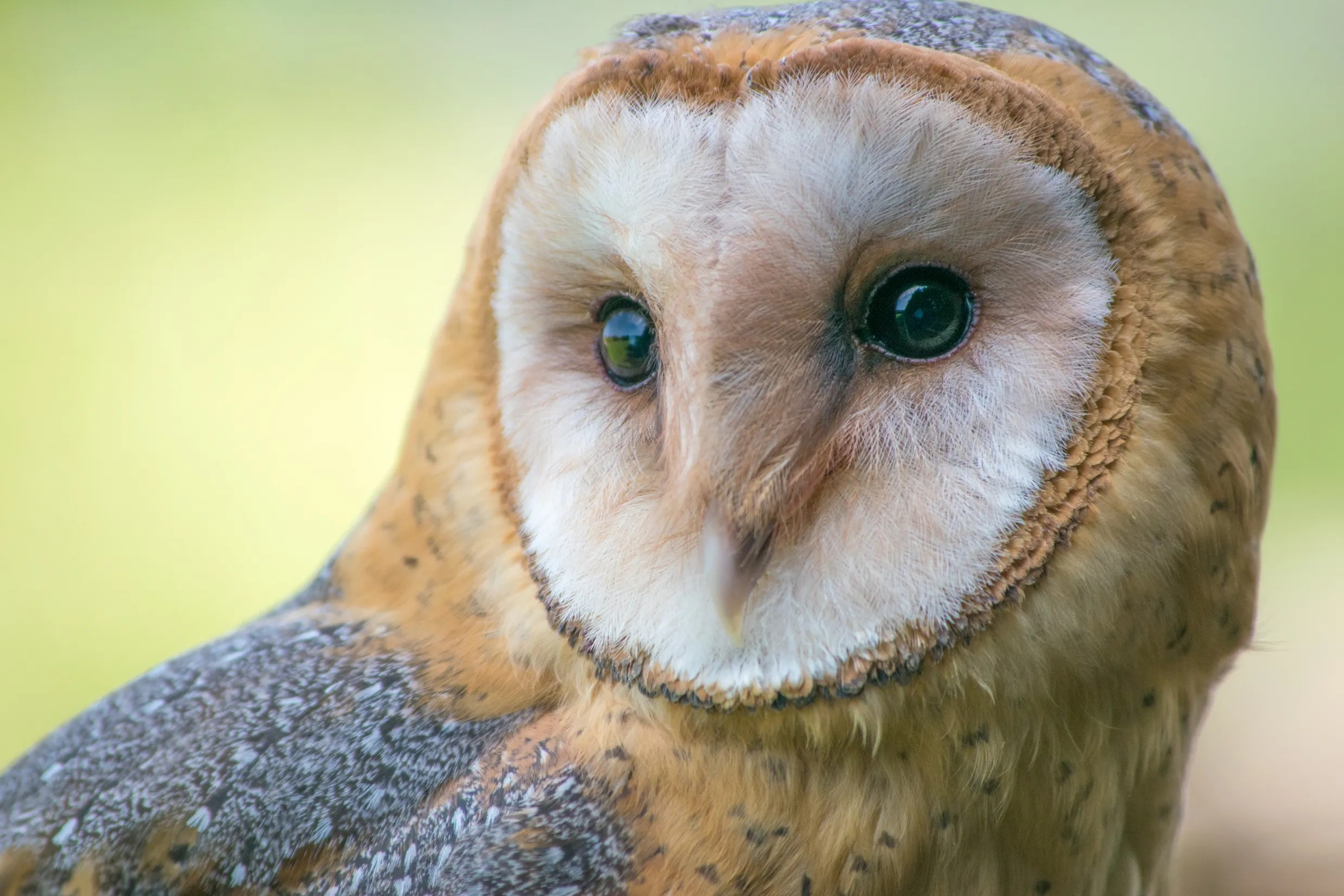 High Desert Bird of the Month: Barn owl