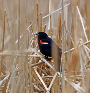 Angry Birds: Watch Out For Red-winged Blackbirds This Time Of Year