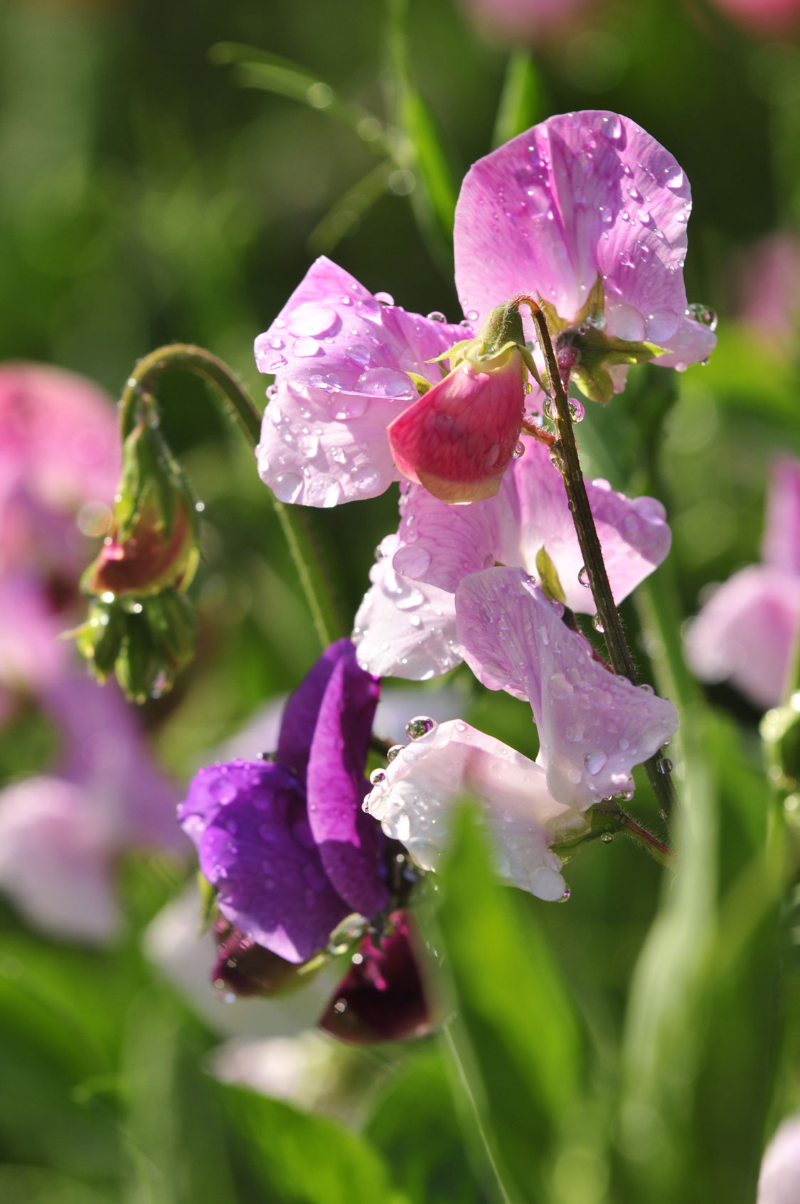 Growing Sweet Peas Sa Garden And Home