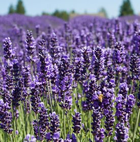 Growing Lavender   Planting   Caring for Lavender Plants   Garden Design Royal Velvet