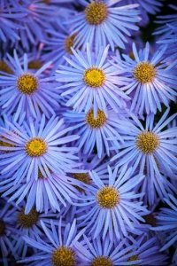 Asters  How to Grow  Care  and Design with These Fall Flowers      M    nch  aster   Photo by  Richard Bloom