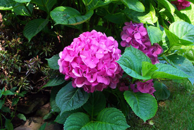 How to Grow and Care for Hydrangea Flower Bush  The Gardener s Network How to Grow  Care for Hydrangea Bushes