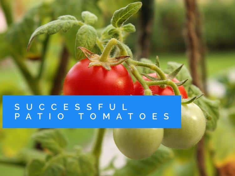 How To Grow Patio Tomatoes Gardening Channel