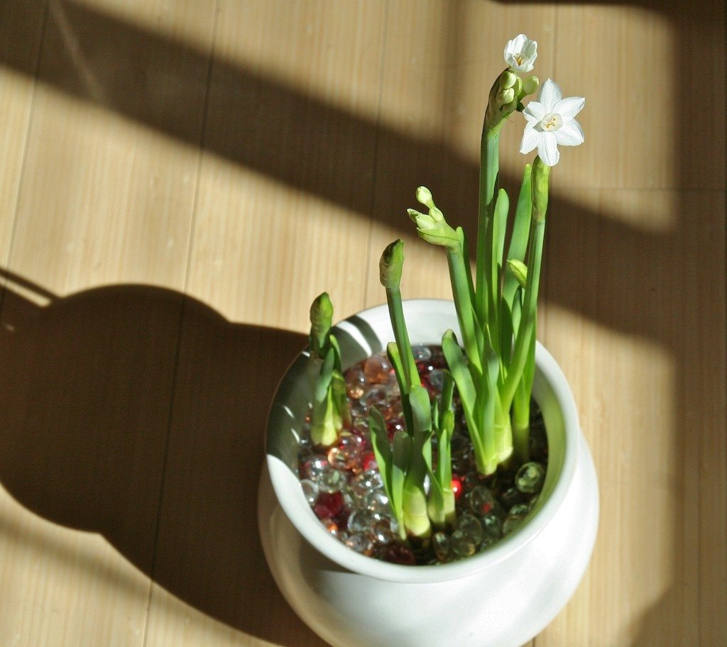 Amaryllis Care In Water