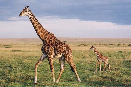 Live Giraffe Birth Animal Planet
