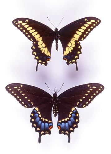 godofinsects.com :: Eastern Black Swallowtail Butterfly ...